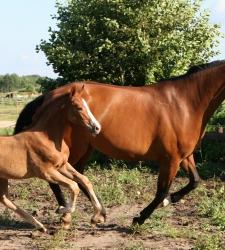 PAVO для жеребых и кормящих лошадей