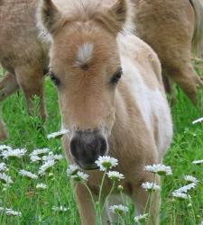 PAVO для годовалых и двухлетних лошадей