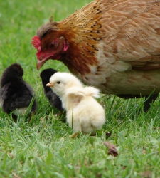 Цыплячий(0 до 2недель)